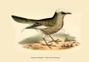 Notauges Albicapillus - White-Crowned Starling